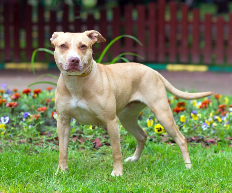 American pit bull terrier is a bully breed