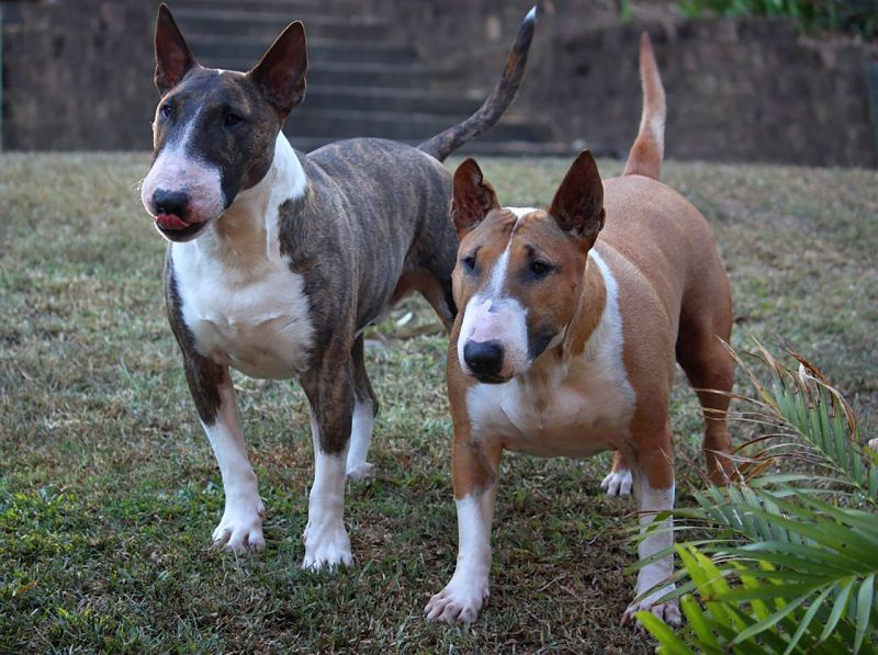 """Bull terriers are a """"bully breed"""""""