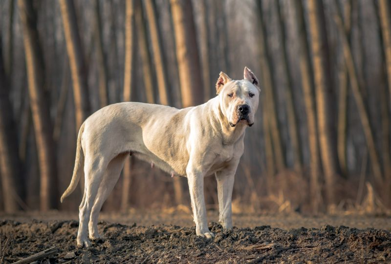 the Dogo Argentino is a bully breed
