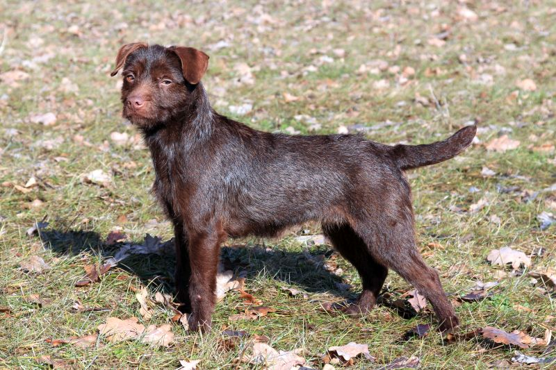 The Patterdale terrier is a bully breed