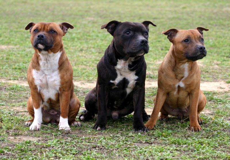 Staffordshire bull terriers are a bully breed