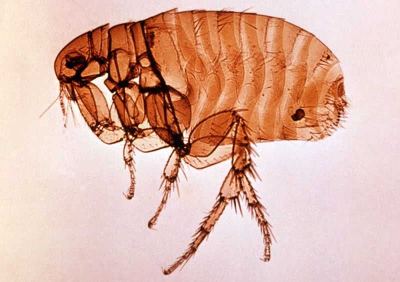 fleas make dogs itchy