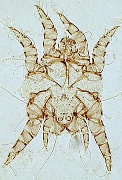dog ear mite