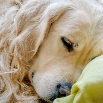 best bed for golden retriever