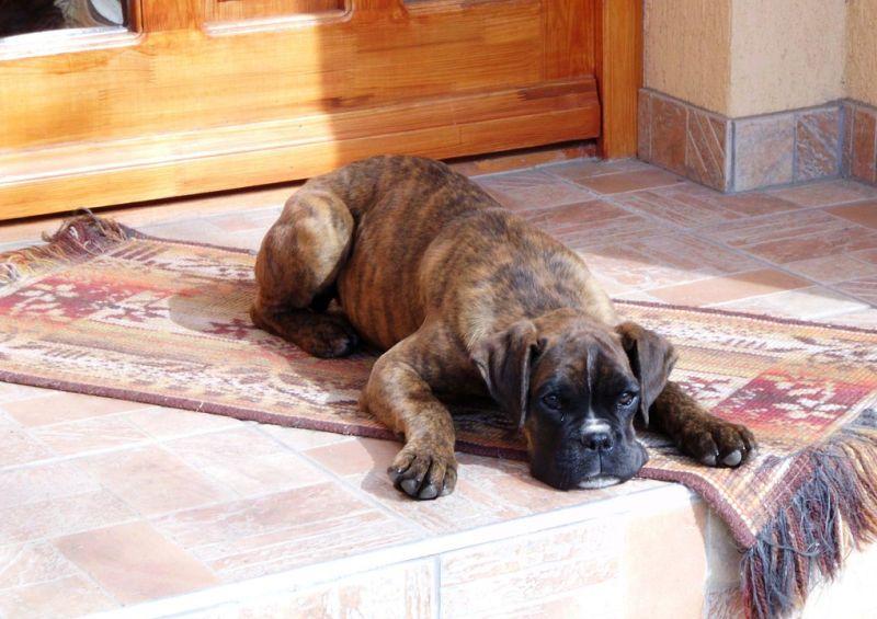 boxers sleep a lot