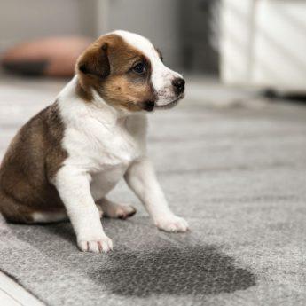 best dog urine carpet cleaner