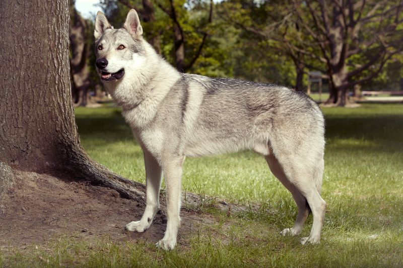 hybrid of wolf and dog