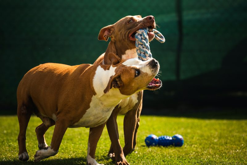 dogs playing in yard together