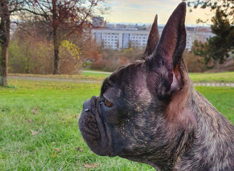 French bulldog x pug