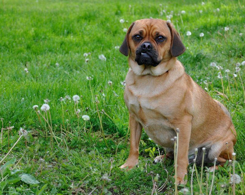 Puggle mixed breed dog