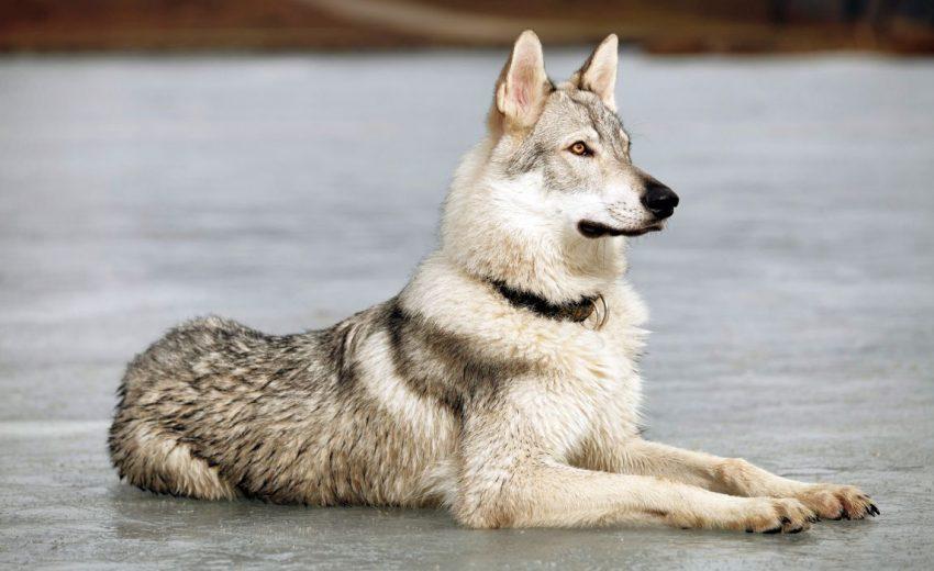 Wolfdog hybrid canine