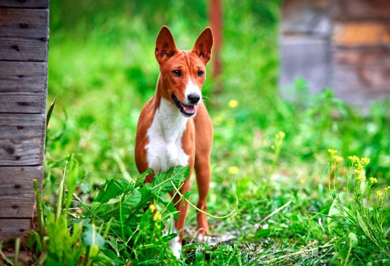 Dog names with African roots