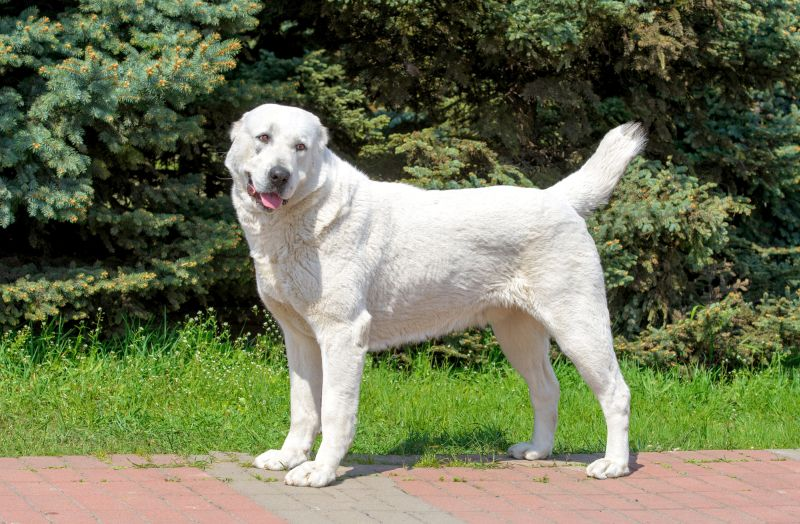 Some akbash dogs are white