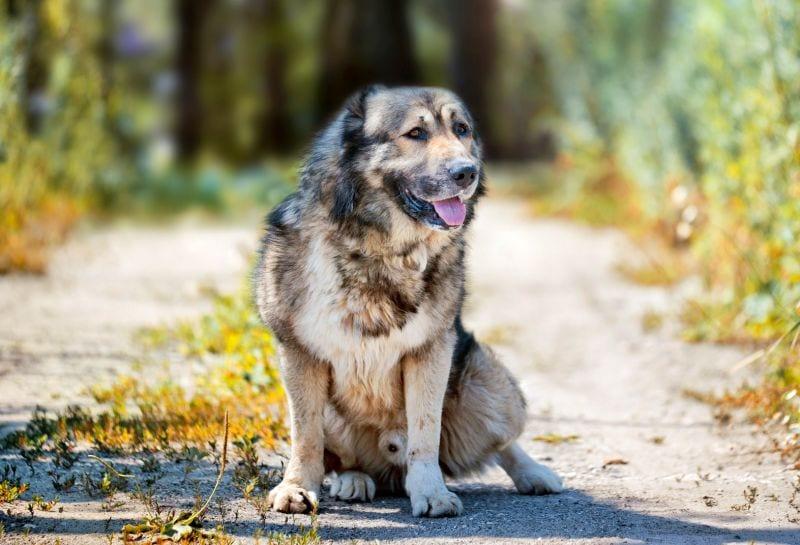 Caucasian shepherd dogs work as guard dogs