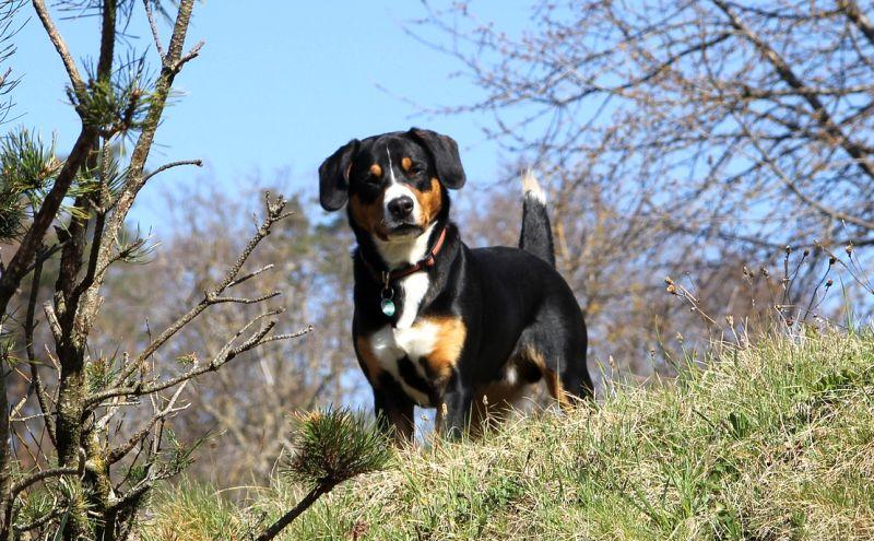 tricolored Entlebucher Mountain Dog