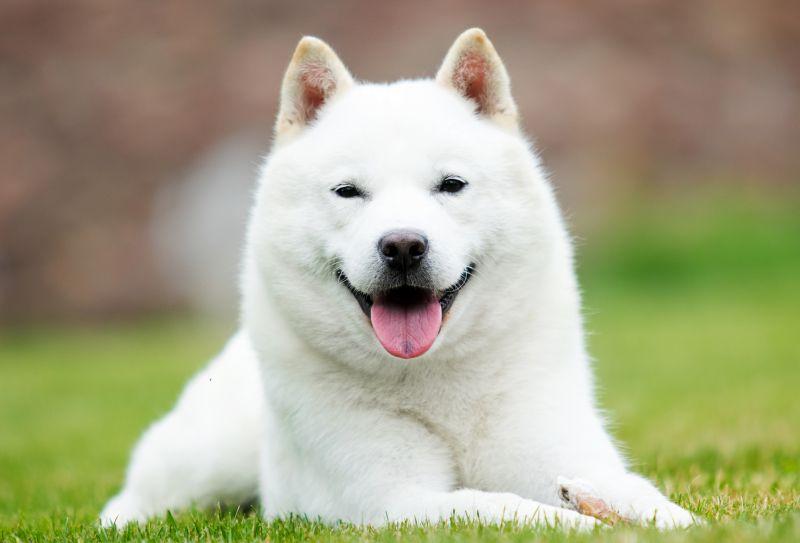 Hokkaidos are a Japanese breed