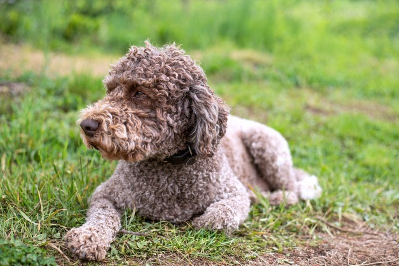 lagotto Romagnolos have curly hair