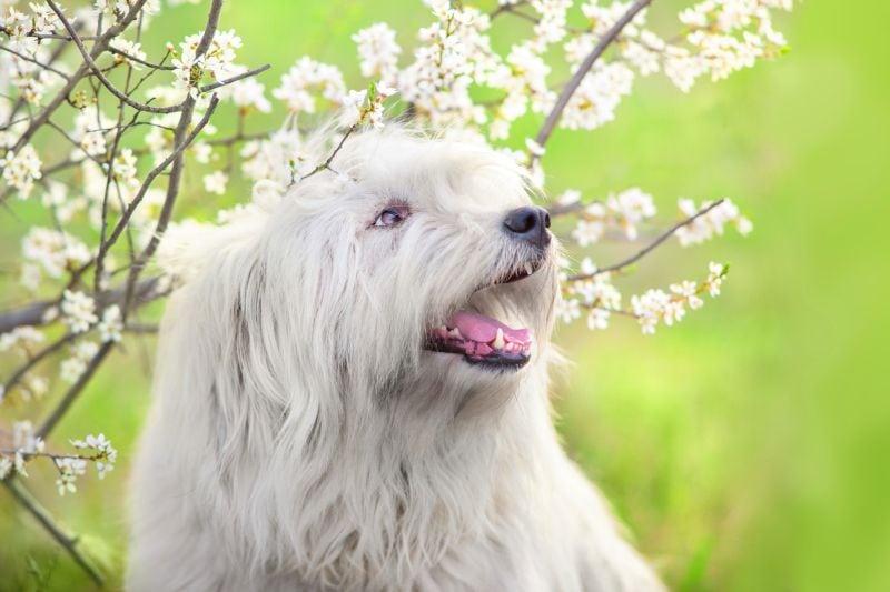 Ukranian shepherd dogs are white