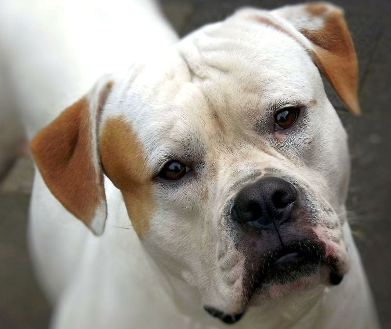 American bulldogs can be white