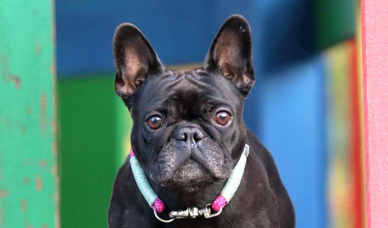 blunt-tipped dog ear