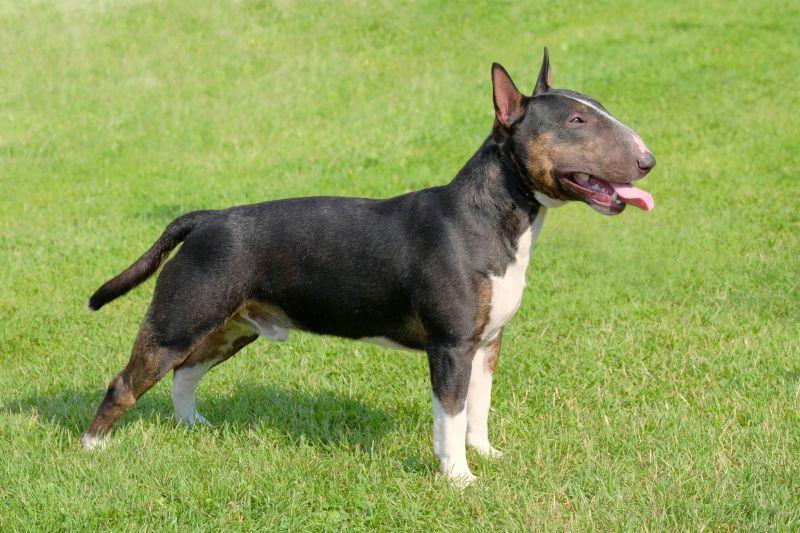 tricolored bull terrier