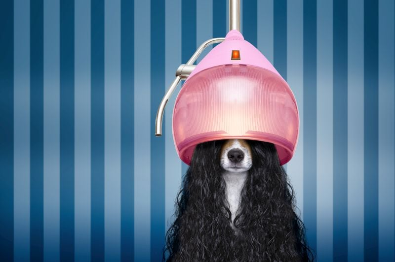 care tips for curly haired dogs