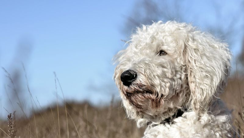 goldendoodles have curly hair