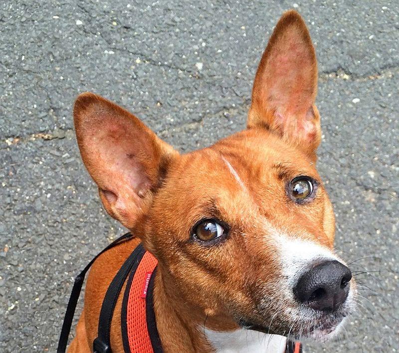 hooded dog ear