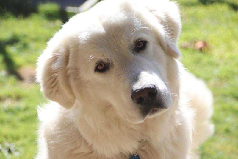 Maremma sheepdogs are white