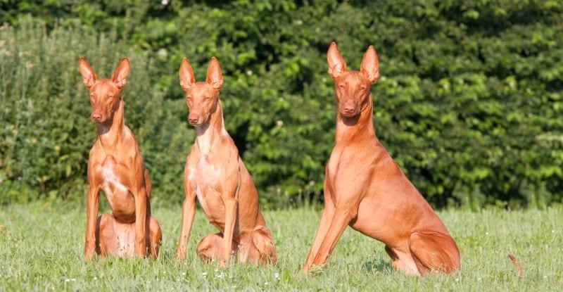 Pharaoh hounds hail from Africa