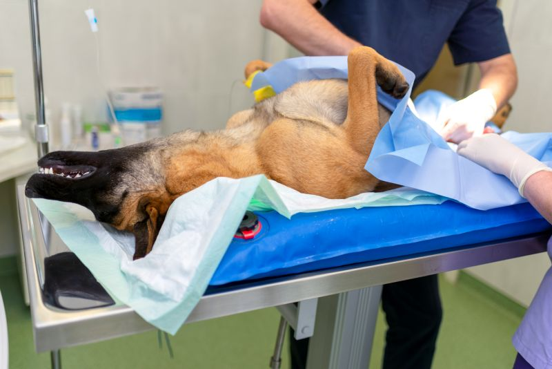 dog spaying can cause incontinence