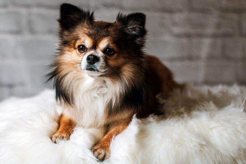 tricolored Chihuahua