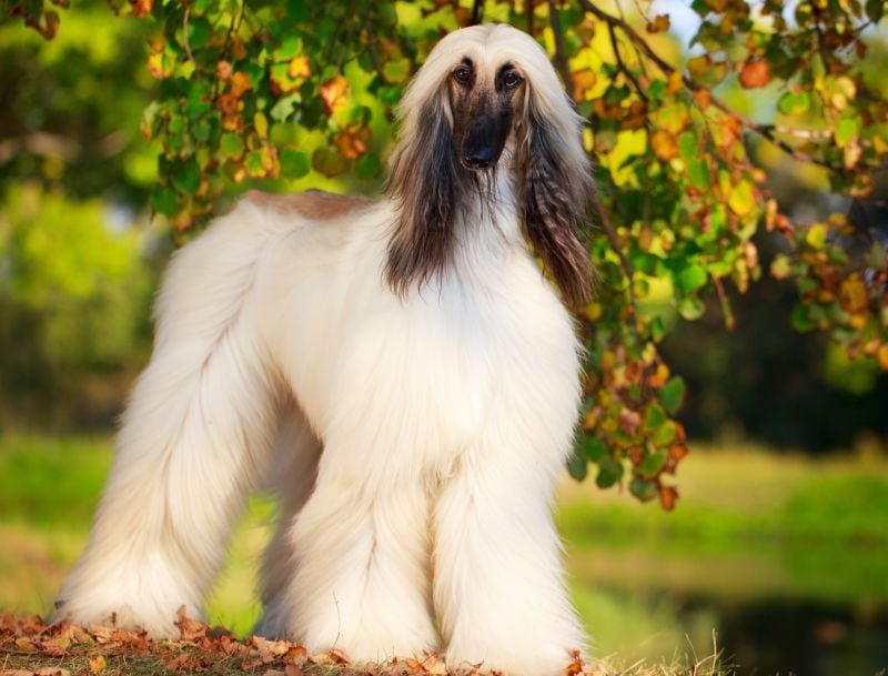 some Afghan hounds are white