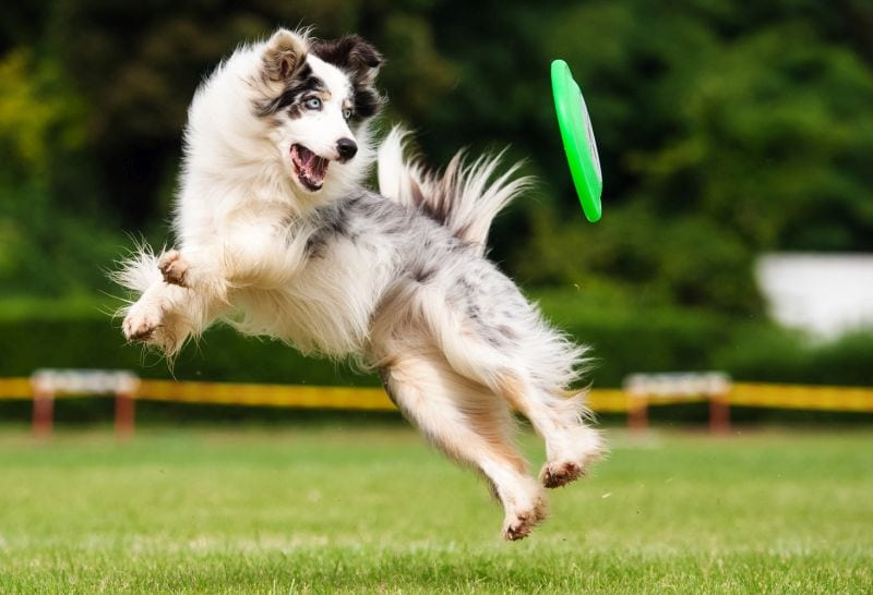 Some border collies are mostly white