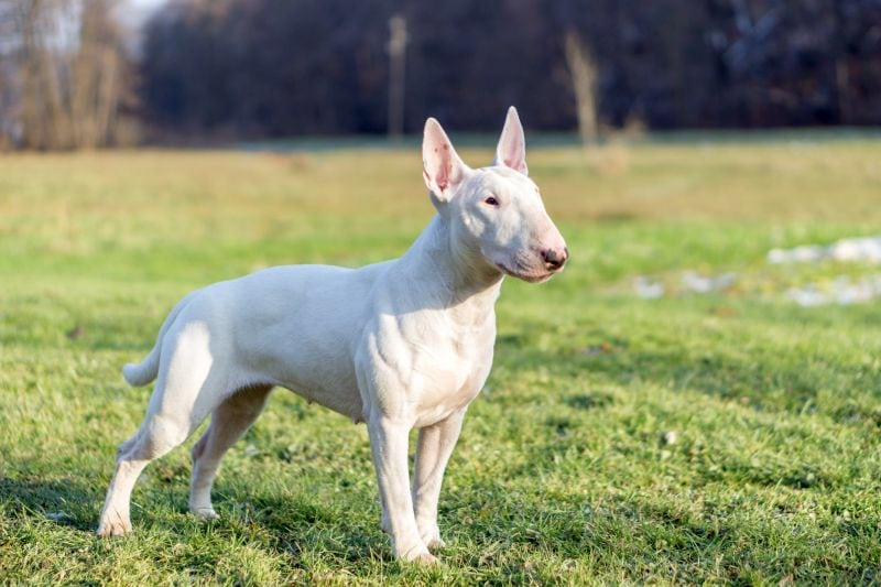 some bull terriers are white