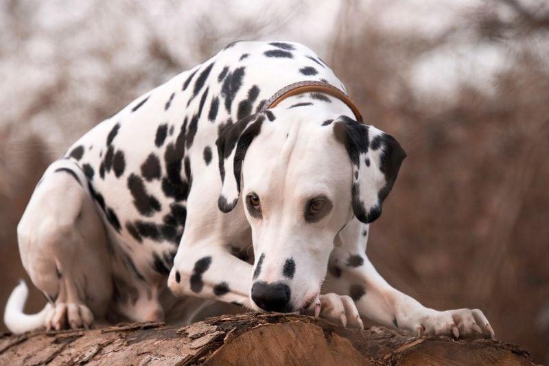 white Dalmatian