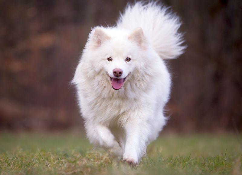 White Finnish Lapphund