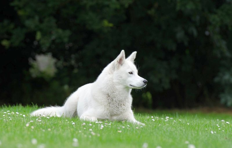 some huskies are all white