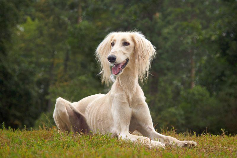 White saluki dog