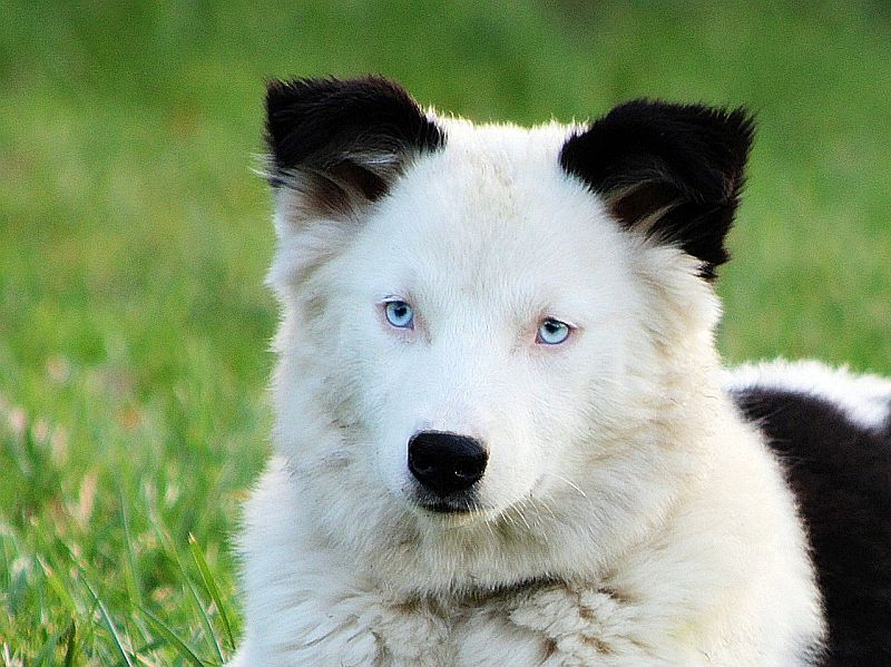 The Yakutian Laika is white
