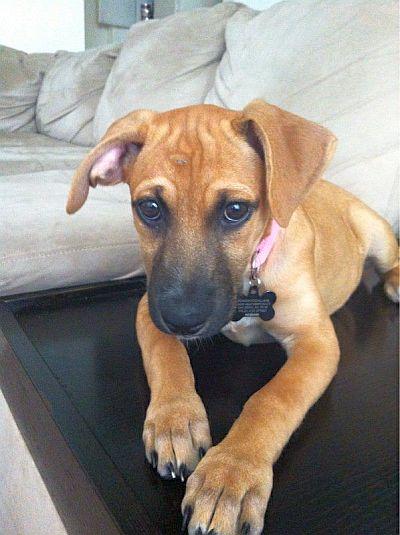 adorable boxador puppy