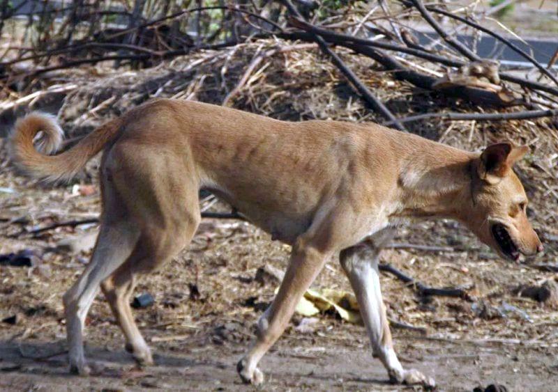 The Indian pariah dog