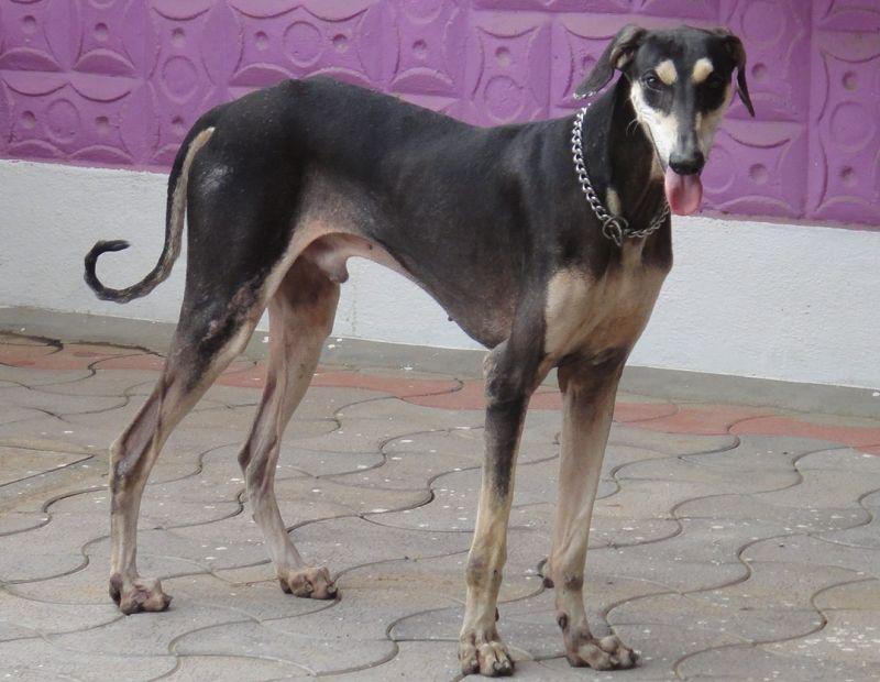 Indian Kanni dog