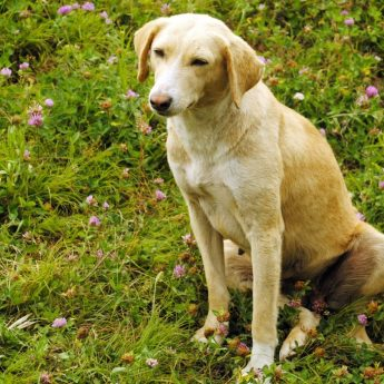 Kombai dog from India