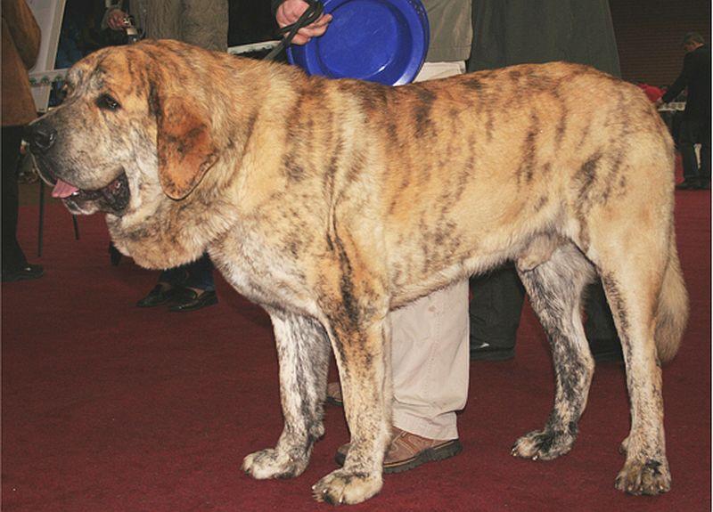 The Kumaon mastiff is from India.