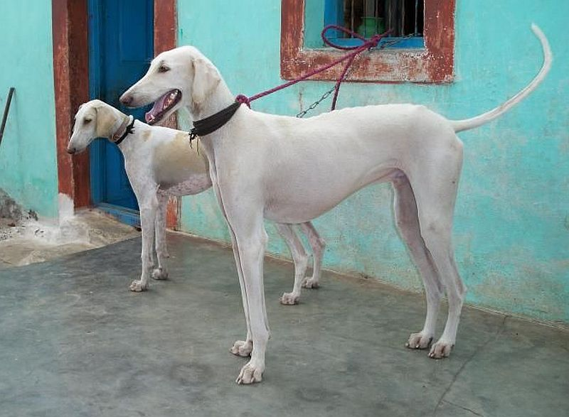Mudhol hounds are from India.