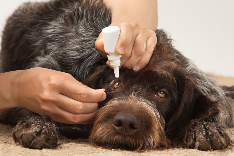 applying dog eye drops