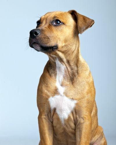a boxador puppy
