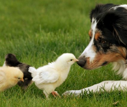 dogs that guard chickens