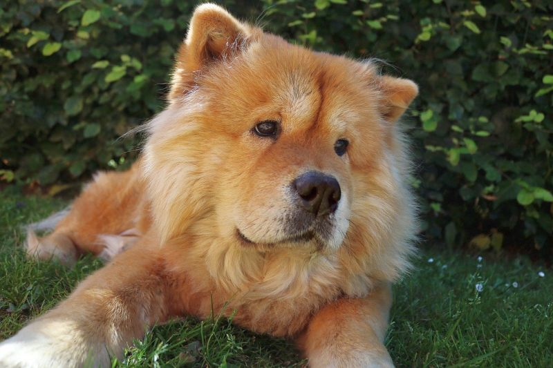 fawn colored chow